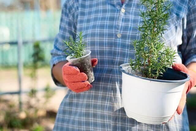 生垣に向く植物カロライナジャスミンとハゴロモジャスミン編
