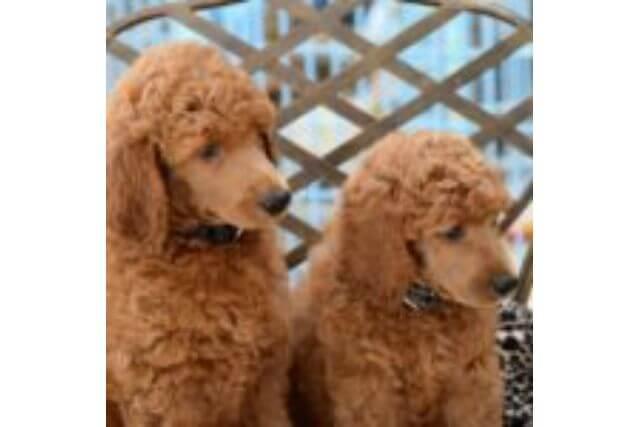 意外と知らない犬の種類、スタンダード(犬種標準)について