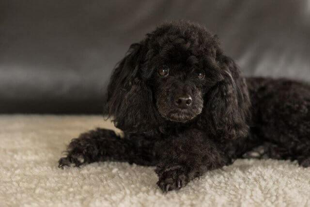 知っておきたい!犬の交配の適齢期と繁殖の注意点
