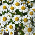 アレルギー体質が気を付けるハーブと緩和するハーブ