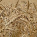 ダイエットにいいって本当?ライ麦とは特徴と小麦粉との違い