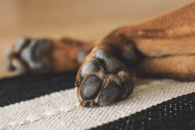 犬の足裏をカットするには?足回りの毛をカットする方法や注意点について