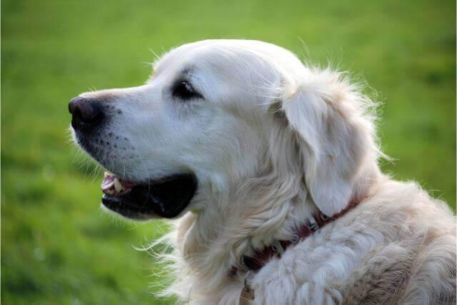 トリミングがいらない犬もいる?トリミングが必要な犬種と目的や理由について