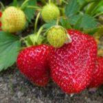 こんなにあった!ベランダ菜園で育てられる果物