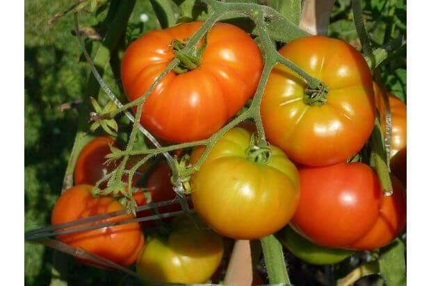 ベランダ菜園といえば!トマト/ミニトマトのベランダ栽培